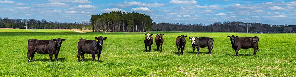 Herd of black angus steers